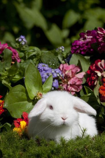 White Holland Lop Rabbit On Club Moss With Background Of Summer