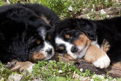 Bernese Mountain Dog Pups (Two)