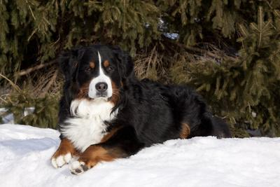 Bernese Mountain Dog Lying in Snow by Spruce Tree, Elburn, Illinois, USA
