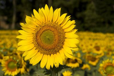 Field of Sunflowers in Mid-Summer, Pecatonica, Illinois, USA