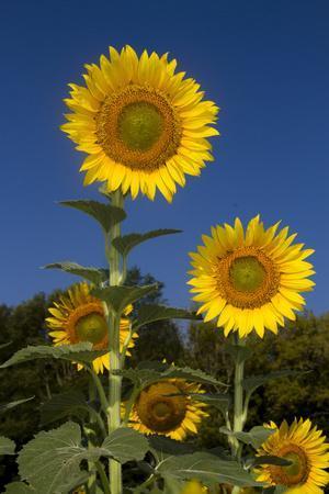 Giant Sunflowers in Bloom, Pecatonica, Illinois, USA