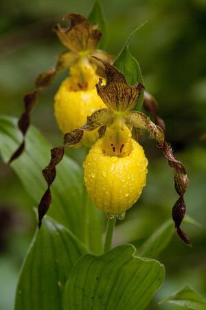 Large Yellow Lady'-Slipper (Cypripedium Calceolus), Native North American Orchid, Northern Illinois
