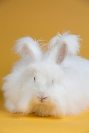 giant angora photographic print by lynn m stone at allposters com