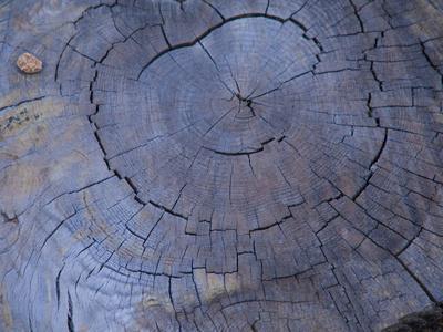 Cross Section of Fallen Tree in Colorado,USA
