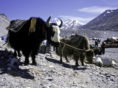 Yaks at the Base Camp of the Everest North Side, Tibet