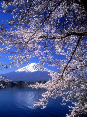 Cherry Blossoms and Mt. Fuji