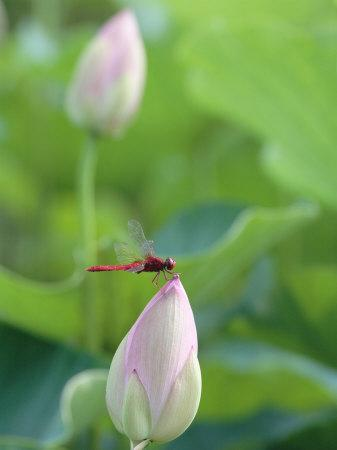 Dragonfly on a Lotus Bud