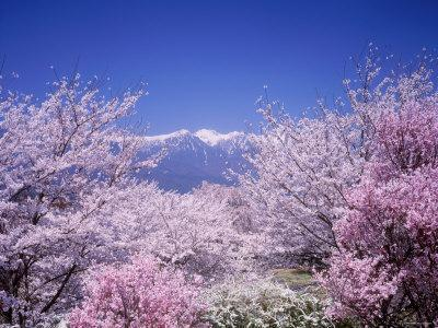 Cherry Blossoms and Mountains