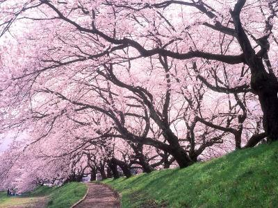Row of Cherry Trees