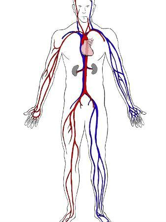 Arteries in Red and Veins in Blue
