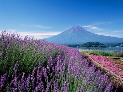 Mt. Fuji and a Lavender Bush