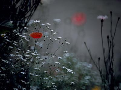 Poppy and Wild Chrysanthemums