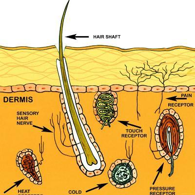 Sensory Nerves of the Skin Sense of Touch