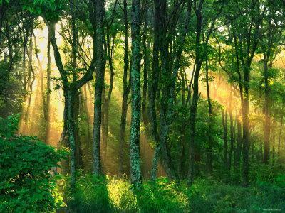 Sunbeams Through the Trees