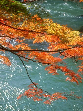 Maple Leaves Over River Uji