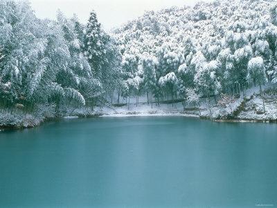 Bamboo Bush in Snow