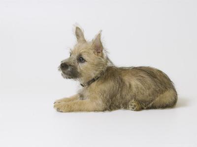 Cairn Terrier Puppy, 4 Months Old