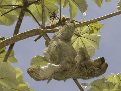 Three-Toed Sloth, Quepos, Costa Rica