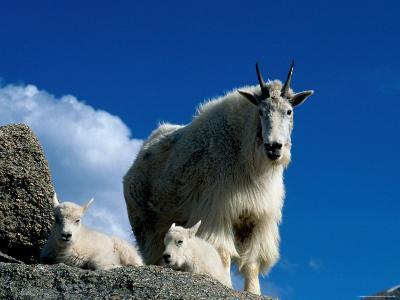 Wild Goats, Boulder