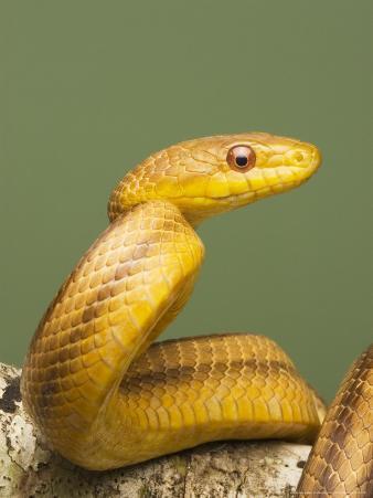 Yellow Rat Snake, Sarasota County, USA