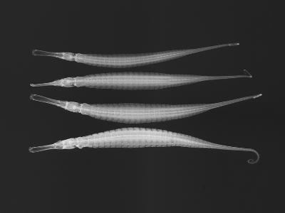 Alligator Pipefish