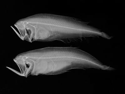 Bothid Flatfish