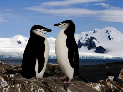 Chinstrap Penguins on Rocks in Half Moon Bay, Antarctica, January 2007