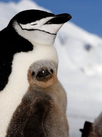Adult and Juvenile Chinstrap Penguins, Half Moon Bay, Antarctica, January 2007