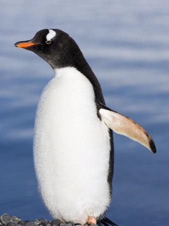 Gentoo Penguin, Yankee Harbour, Antarctica, January 2007