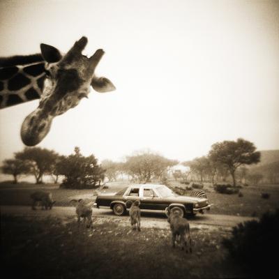 Giraffe and Friends Falcon Ridge Texas