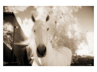 White Horse Black Nose