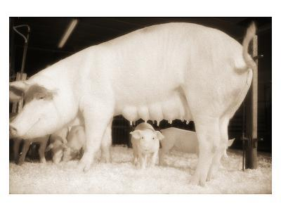 Pig and Five Piglets
