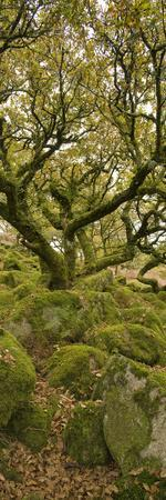 Dartmoor, Wistmans Wood, Stunted Oak Trees, Vert Pano