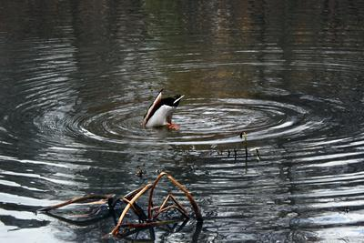 Duck Diving into Pond