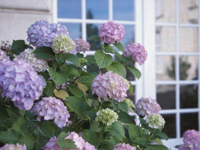 Purple Hydrangea in Front of Glass Window