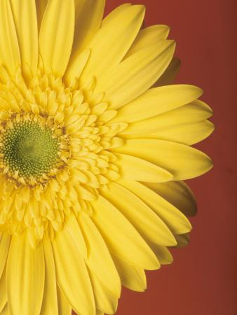 Yellow Zinnia Against Red Background