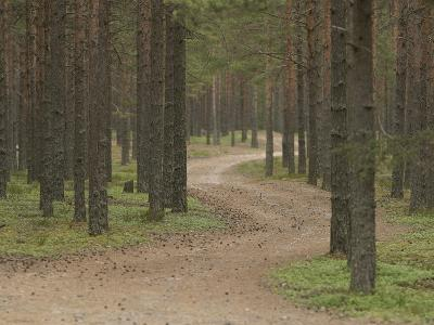 A Dirt Path Through Peaceful Pine Tree Woods
