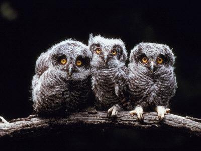 Screech Owlets Sitting on Tree Branch