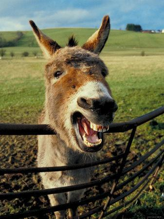 Donkey Laughing in Grassy Pasture