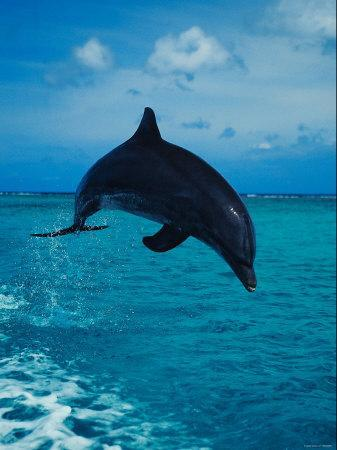 Bottlenose Dolphin Jumping into the Ocean