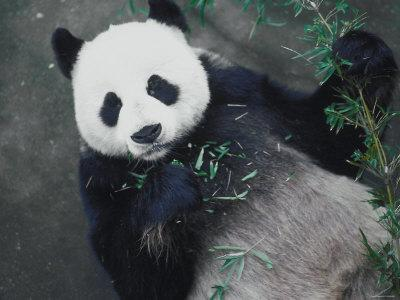 Messy Panda Lying Down While Eating Bamboo Shoots