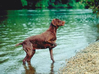 German Short-Haired Pointer Standing in Stream