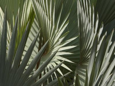Close-up of Dull Green Palm Frond Leaves