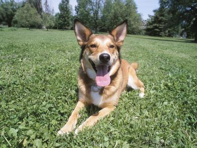 Panting Dog Lying Down in Green Grass