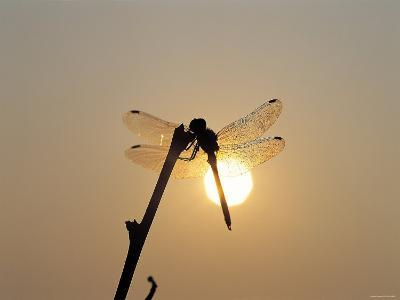 Silhouette of Dragonfly Perched on Edge of Stick at Sunset