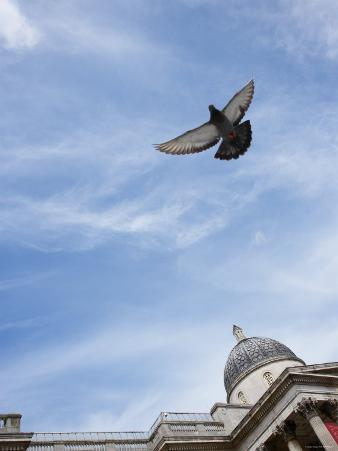 a Pigeon Flying Near St. Paul's Cathedral in London, England