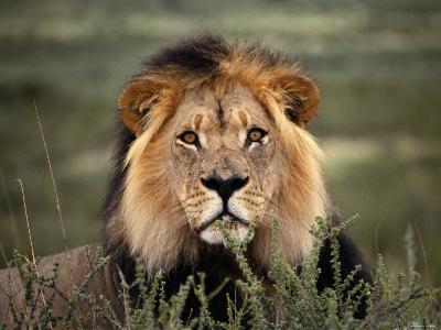 Alert Lion Lying Down in Grass