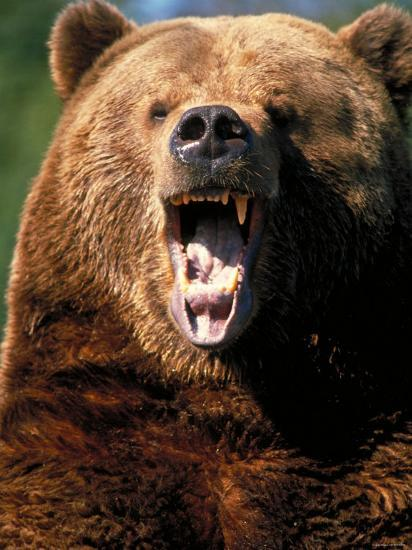 Angry Brown Bear Growling And Showing Teeth Photographic