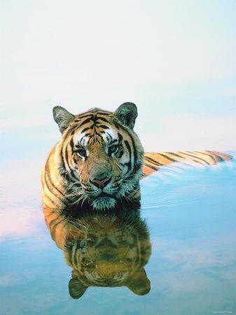 Bengal Tiger Wading Through Water with Reflection in Glassy Surface