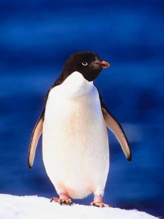 Adelie Penguin Standing on Snow-Covered Surface